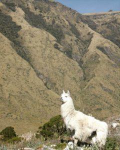★ ¿Hola qué hace? 🔥  #Ecuador #Paramo #papallacta #nature #llama #sky #green #allyouneedisecuador #discoversouthamerica #discoverecuador #animals #natureecuador #naturaleza #olakease #megadiversidad #traveling #sudamerica #descubresudamérica #descubreecuador #ECU #todoloquenecesitasesecuador #naturalezaecuatoriana #paramount #paramoecuatoriano #instagramers #instaphoto #instagood #instapic #fauna @ecuadorestrella @paisajesecuador593 @ecuadortravel @conoce.ecuador @allthingsecuador @ecuadorfotos @instameetec @ecuadorpormislentes @ecuadorysuspaisajes