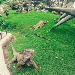 ★ Park of Iguanas in Guayaquil #Ecuador #Iguana #Guayaquil #Park #Animal #Lizard  #EcuadorPotenciaTuristica #EcuadorIsAllYouNeed #EcuadorTravel #Ecuadorian #EcuadorFlavors #DiscoverEcuador #EcuadorAmaLaVida #Landscape #LikeNowhereElse #EarthPorn #InstaTravel #TravelGram #TravelPorn #Tropical #Paradise#Beauty #Nature #Photograph #PicOfTheDay #Colorful