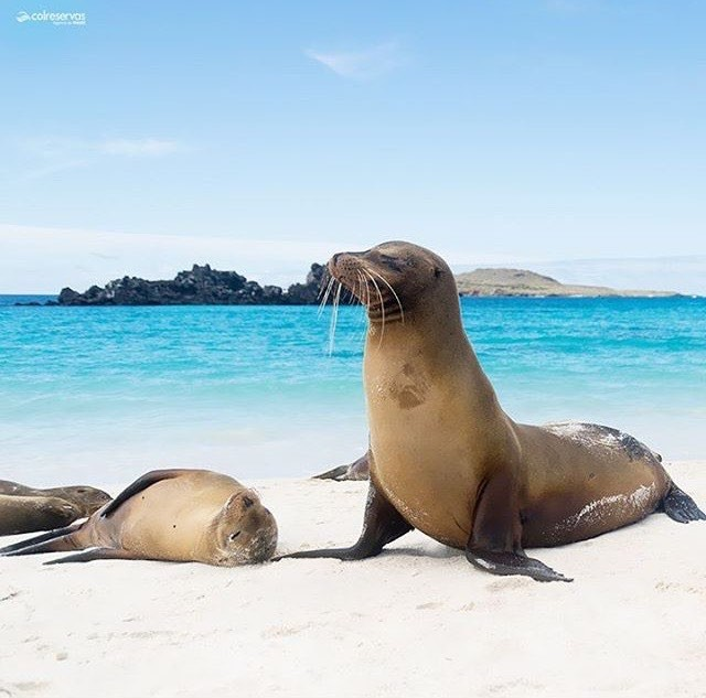 ★ LEÓN MARINO EN GALÁPAGOS By : @colreservas #Galapagos #DiscoverEcuador #EcuadorPotenciaTuristica #EcuadorTuristico #EcuadorAmaLavida #EcuadorPrimero #Ecuador #SoClose #LikeNoWhereElse #ViajaPrimeroEcuador #AllInOnePlace #AllYouNeedIsEcuador #PaisajesEcuador #PaisajesEcuador593 #FeelAgainInEcuador #Love #Nature_Wizards #Nature_Perfections #Wow_America #World_Shots #WorldCaptures