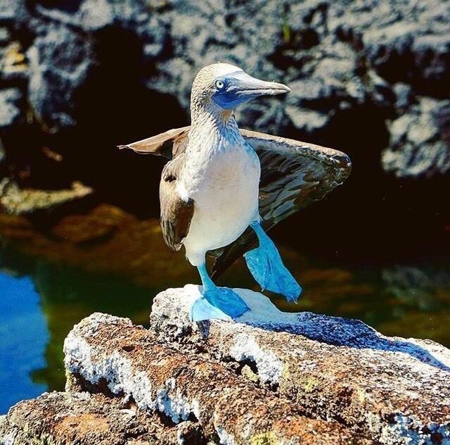 ★ PIQUERO DE PATAS AZULES – GALÁPAGOS  By : @roamingaroundtheworld  #Galápagos #DiscoverEcuador #EcuadorPotenciaTuristica #EcuadorIsAllyouNeed #EcuadorTuristico #EcuadorAmaLavida #EcuadorPrimero #Ecuador #SoClose #LikeNoWhereElse #ViajaPrimeroEcuador #AllInOnePlace #AllYouNeedIsEcuador #PaisajesEcuador #PaisajesEcuador593 #FeelAgainInEcuador #Love #Nature_Wizards #Nature_Perfections #Wow_America #World_Shots #WorldCaptures