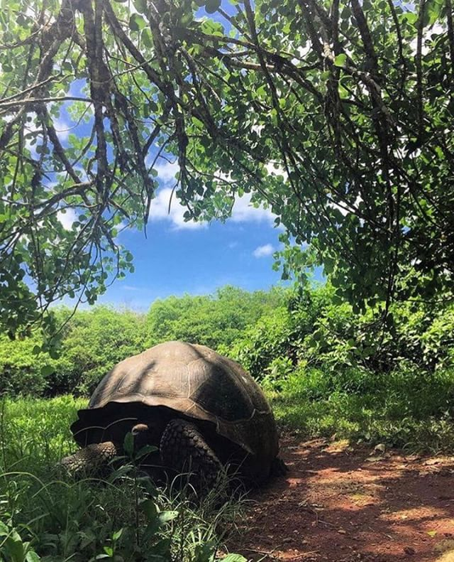 ★ TORTUGA EN GALÁPAGOS  By : @cynthia_gabo  #Galápagos #EcuadorPotenciaTuristica #EcuadorIsAllyouNeed #EcuadorTuristico #EcuadorAmaLavida #EcuadorPrimero #Ecuador #SoClose #LikeNoWhereElse #ViajaPrimeroEcuador #AllInOnePlace #AllYouNeedIsEcuador #PaisajesEcuador #PaisajesEcuador593 #FeelAgainInEcuador #Love #Nature_Wizards #Nature_Perfections #Wow_America #World_Shots #WorldCaptures