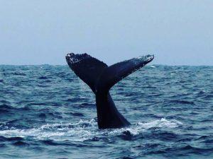★ López, Manabi, Ecuador por: @amazonas.education.travel | Whale watching on the Ecuadorian coast!  Tag the special person you would like to be with 👌👍🍷☀🌞🌅🌎🏄🏊🚢🚤🛥🛫👙🕶🍾🍺 #coast #whales #puertolopez #travel #Ecuador #fun #sun #beachy #SouthAmerica #beach #AllYouNeedisEcuador #trips #fauna #pristinebeach #vacation #holidays #Spanish #tours #whaleswatching #paisaje #GalapagosCruises #beautiful #manabi #funtimes #GalapagosTrips #vacationtime #holidays #worldcaptures #ecuadoriancoast #AmazonasEducation #ecuadordestinoturistico #beautiful  Photo: @amazonas.education.travel  @gusfran10