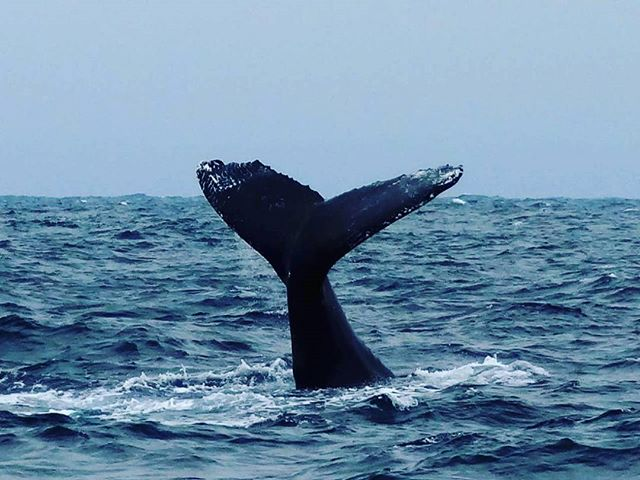 ★ López, Manabi, Ecuador por: @amazonas.education.travel | Whale watching on the Ecuadorian coast!  Tag the special person you would like to be with 👌👍🍷☀🌞🌅🌎🏄🏊🚢🚤🛥🛫👙🕶🍾🍺 #coast #whales #puertolopez #travel #Ecuador #fun #sun #beachy #SouthAmerica #beach #AllYouNeedisEcuador #trips #fauna #pristinebeach #vacation #holidays #Spanish #tours #whaleswatching #paisaje #GalapagosCruises #beautiful #manabi #funtimes #GalapagosTrips #vacationtime #holidays #worldcaptures #ecuadoriancoast #AmazonasEducation #ecuadordestinoturistico #beautiful  Photo: @amazonas.education.travel  @gusfran10