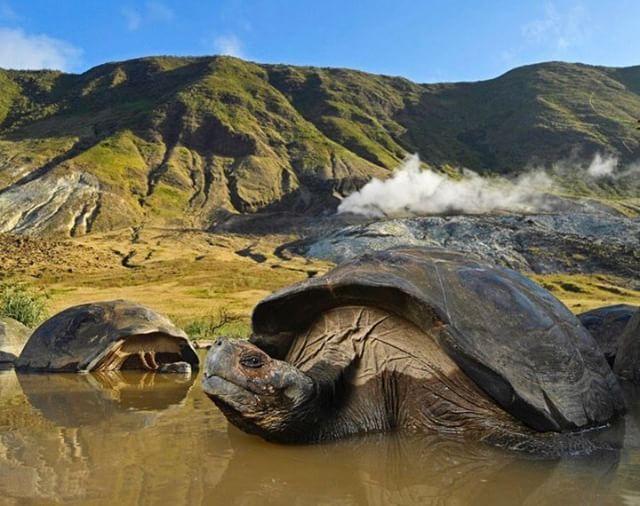 TORTUGAS EN GALÁPAGOS  By : @thomaspeschak #Galápagos #EcuadorPotenciaTuristica #EcuadorIsAllyouNeed #EcuadorTuristico #EcuadorAmaLavida #EcuadorPrimero #Ecuador #SoClose #LikeNoWhereElse #ViajaPrimeroEcuador #AllInOnePlace #AllYouNeedIsEcuador #PaisajesEcuador #PaisajesEcuador593 #FeelAgainInEcuador #Love #Nature_Wizards #Nature_Perfections #Wow_America #World_Shots #WorldCaptures