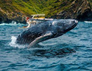 Isla Salango Foto Destacada por: @robinski__ | Un ballenato visto cerca de Salango, siempre es hermoso estar así d…