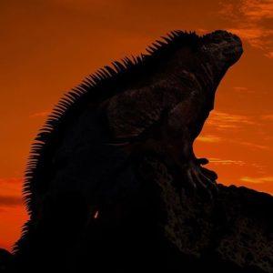 IGUANA EN GALÁPAGOS  By: @olenamickolson  #Galápagos #EcuadorEnTusOjos #EcuadorPotenciaT