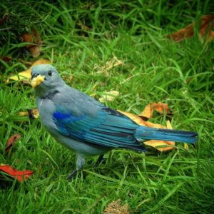 Guayaquil, Ecuador Blue Grey tanager #whattodoinguayaquil #Guayaquil #yolo #birdwhatching #wildlife #Ecu
