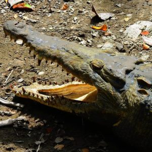Guayaquil, Ecuador Wanna get any closer to this wonderful creature. American 🐊 crocodile. #whattodoingua