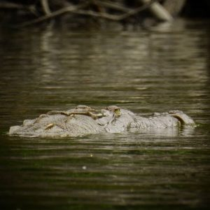 Guayaquil, Ecuador American crocodile during one of our excursions besr Guayaquil.  #whattodoinguayaquil