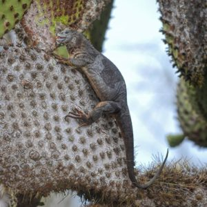 Galapagos Islands A Land Iguana is eating Cactus on South Plaza Island. South Plaza has one of the larg