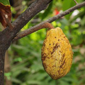 Ecuador El cacao es una fruta tropical, sus cultivos se encuentran mayormente en el Litoral y
